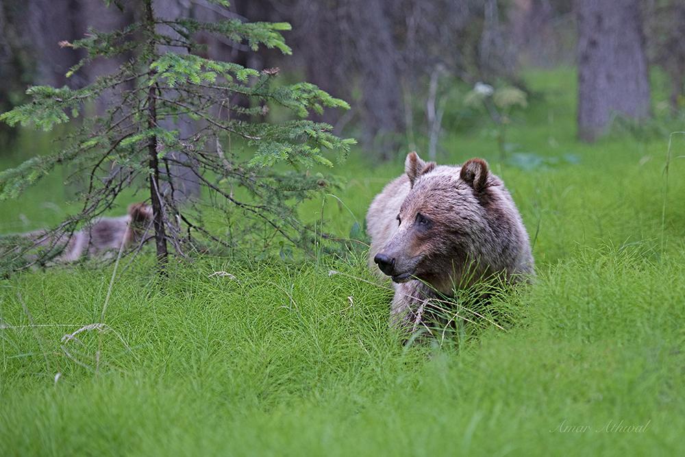 Grizzly 180826 Amar Athwal.jpg
