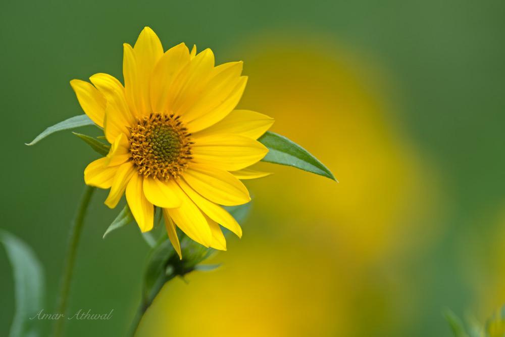 Wild Sunflower 170829 Amar Athwal.jpg