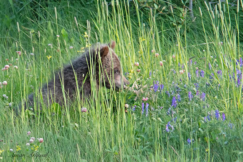 Grizzly 180907 Amar Athwal.jpg