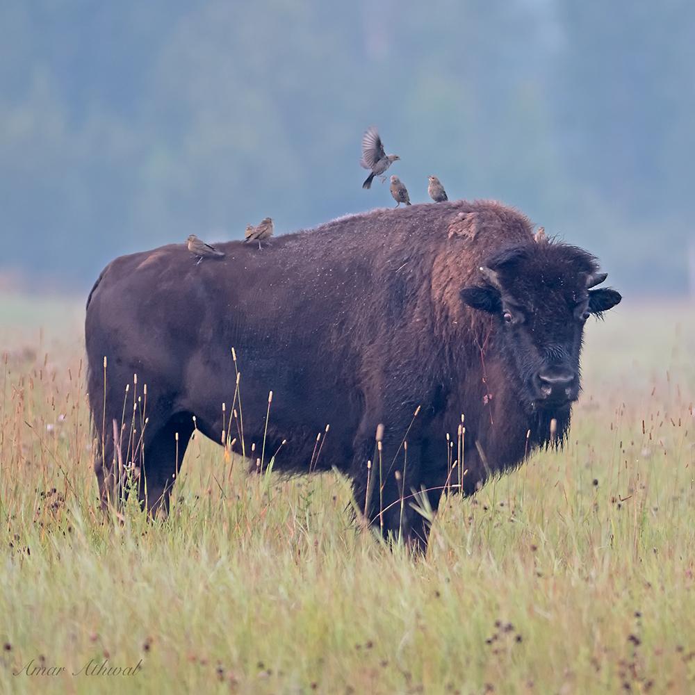 Bison 180918f Amar Athwal.jpg
