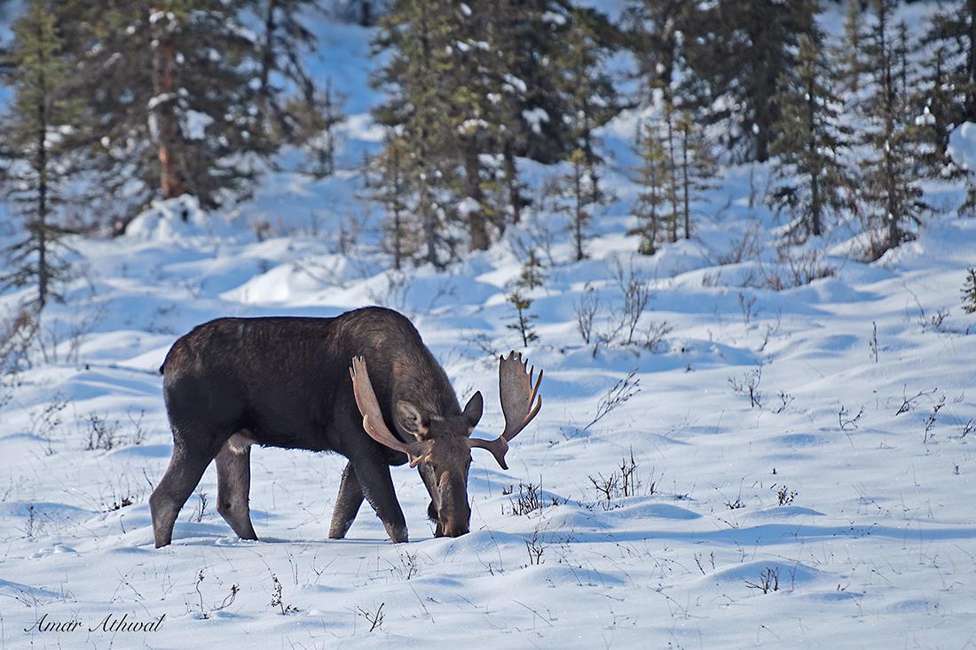 Moose 181014 Amar Athwal.jpg