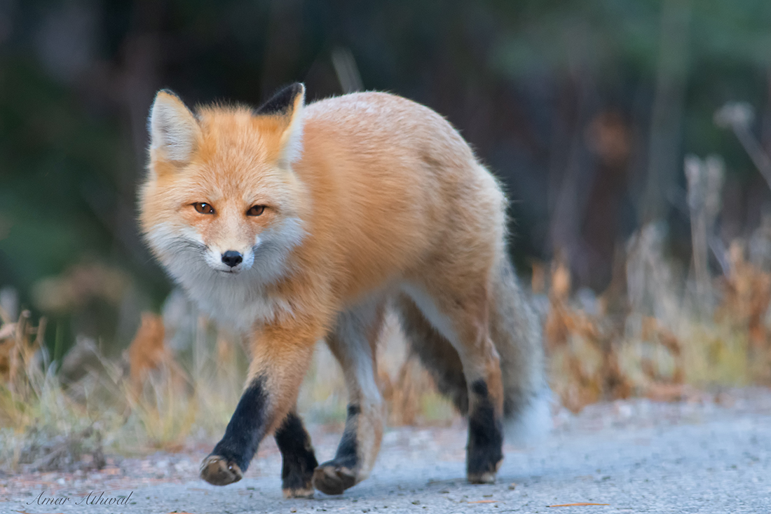Red Fox 181108 Amar Athwal.jpg