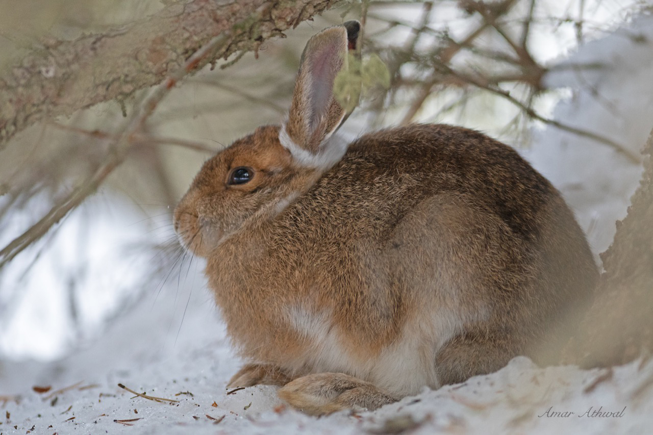 Snowshoe Hare 181114 Amar Athwal.jpg