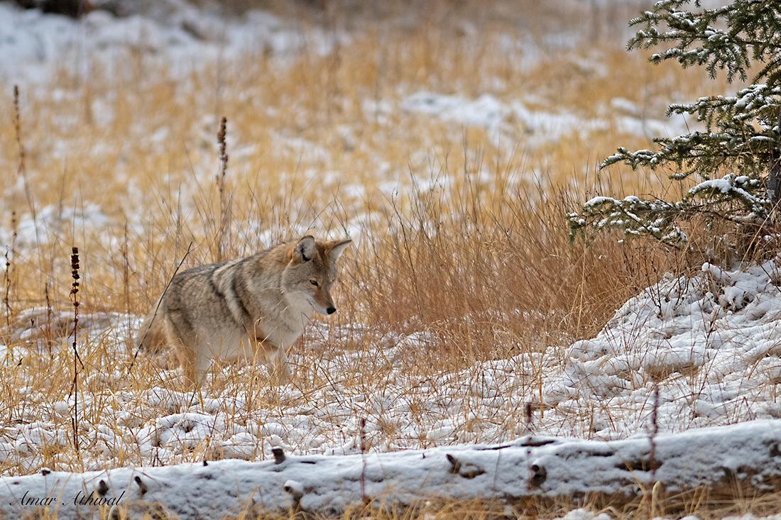 Coyote 181205 Amar Athwal.jpg