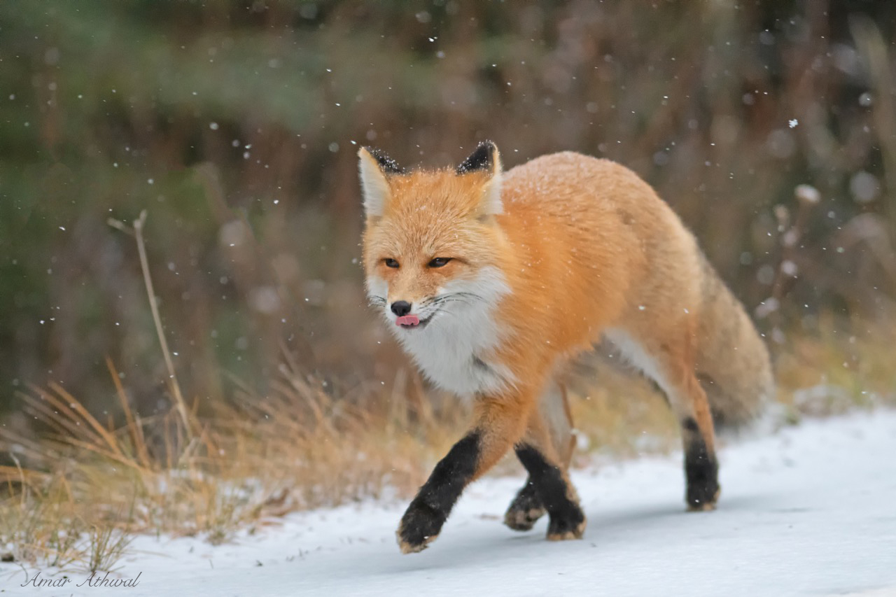 Red Fox 181214 Amar Athwal.jpg