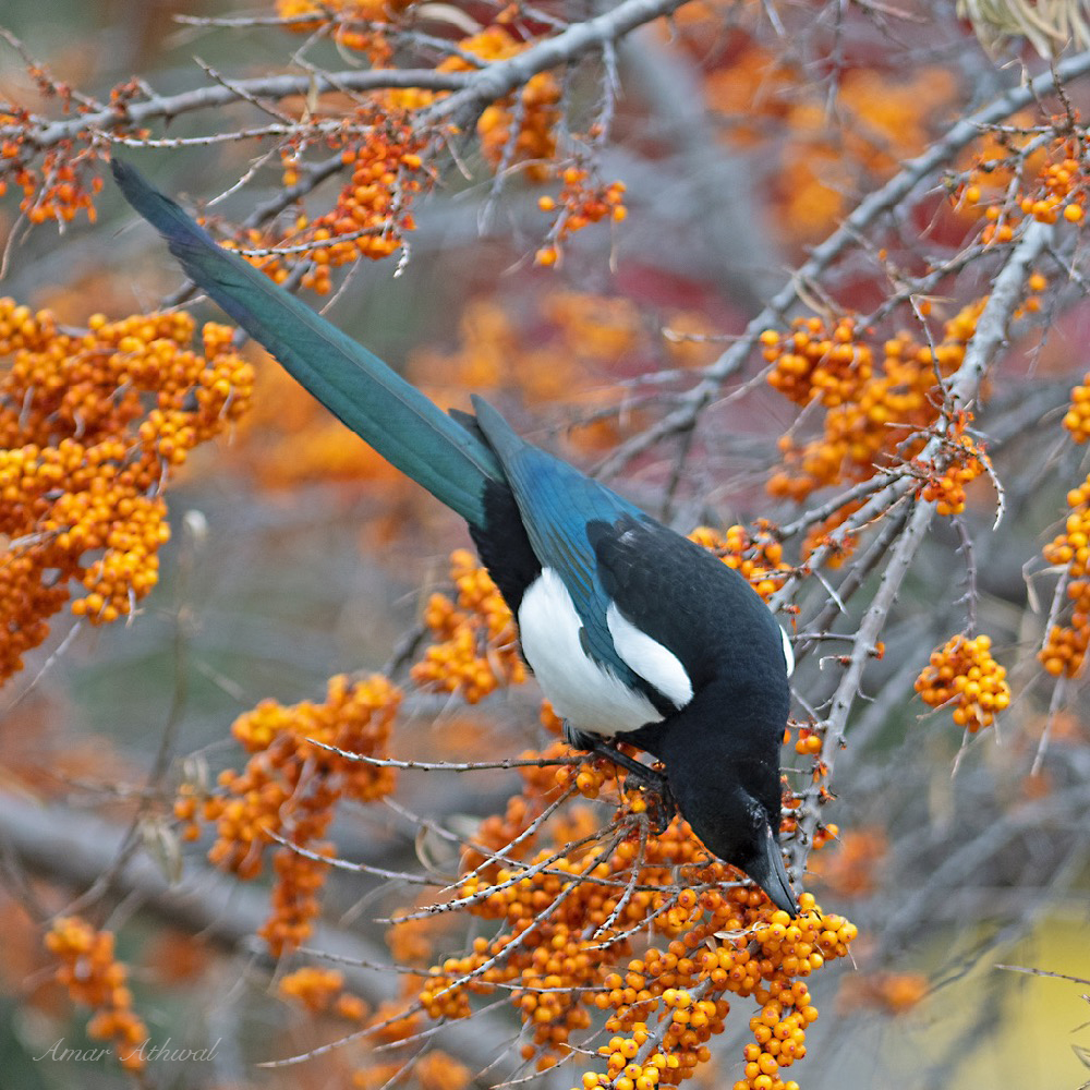 Black-eyed Magpie 181219 Amar Athwal.jpg