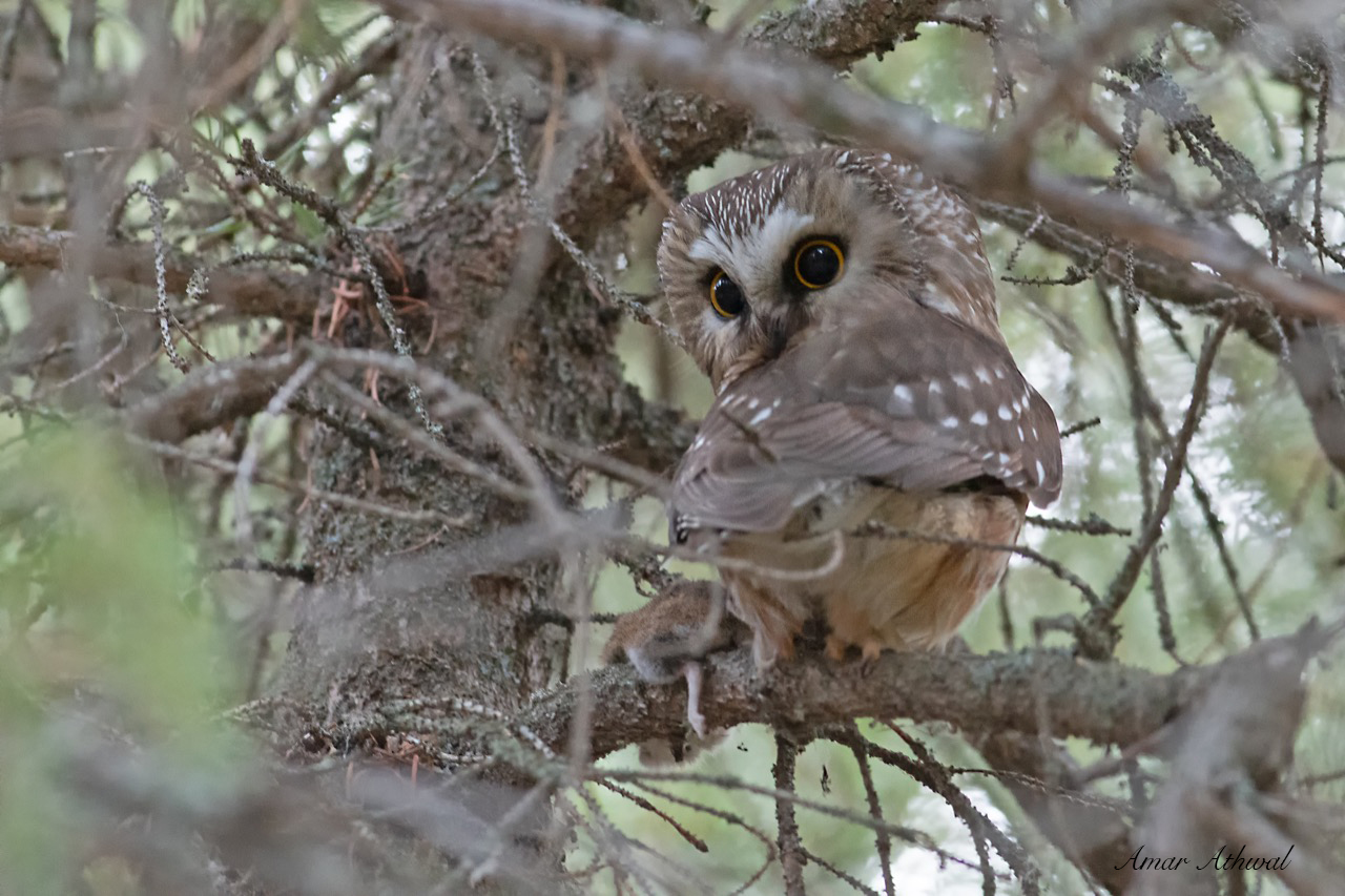 Northern saw-whet Owl 190426 Amar Athwal.jpg