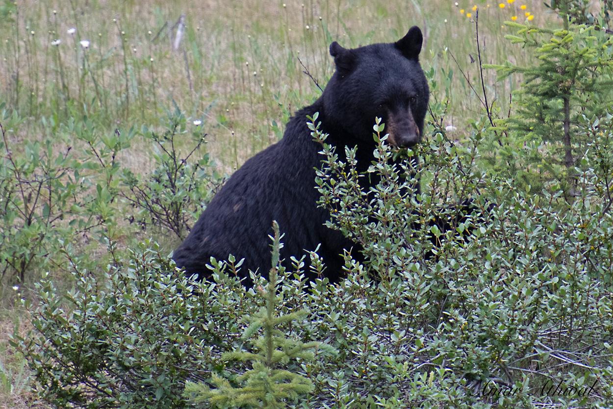 Black Bear 190716 Amar Athwal.jpg