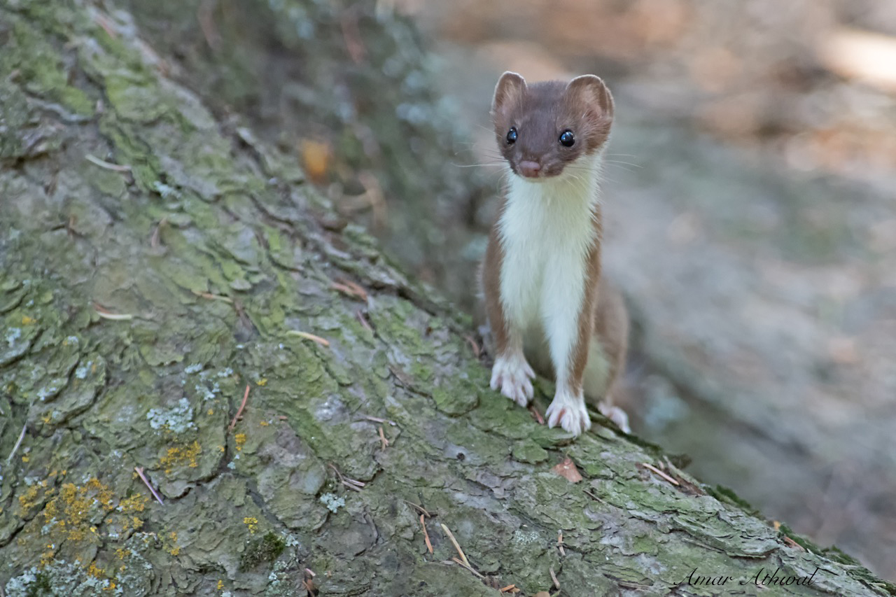 Short-tailed Weasel 190723 Amar Athwal.jpg