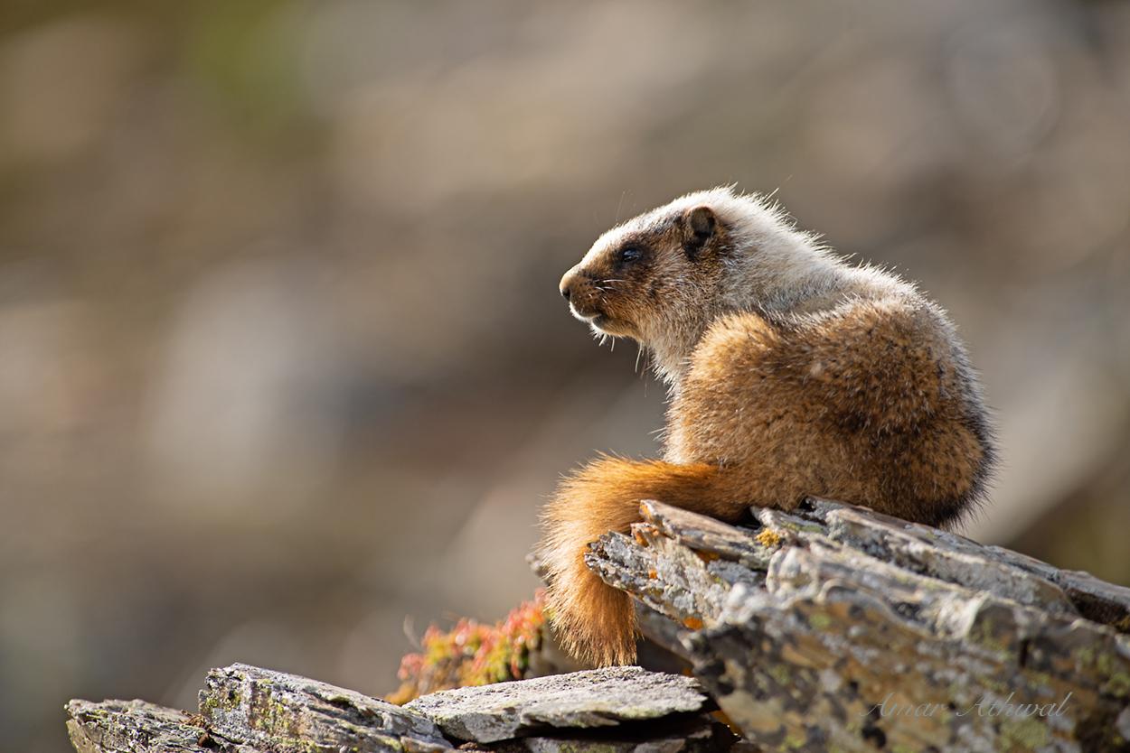 Hoary Marmot 190726 Amar Athwal.jpg