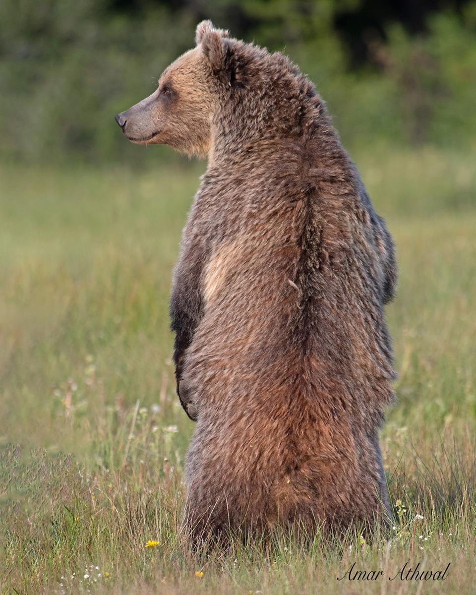 Grizzly 190729 Amar Athwal.jpg