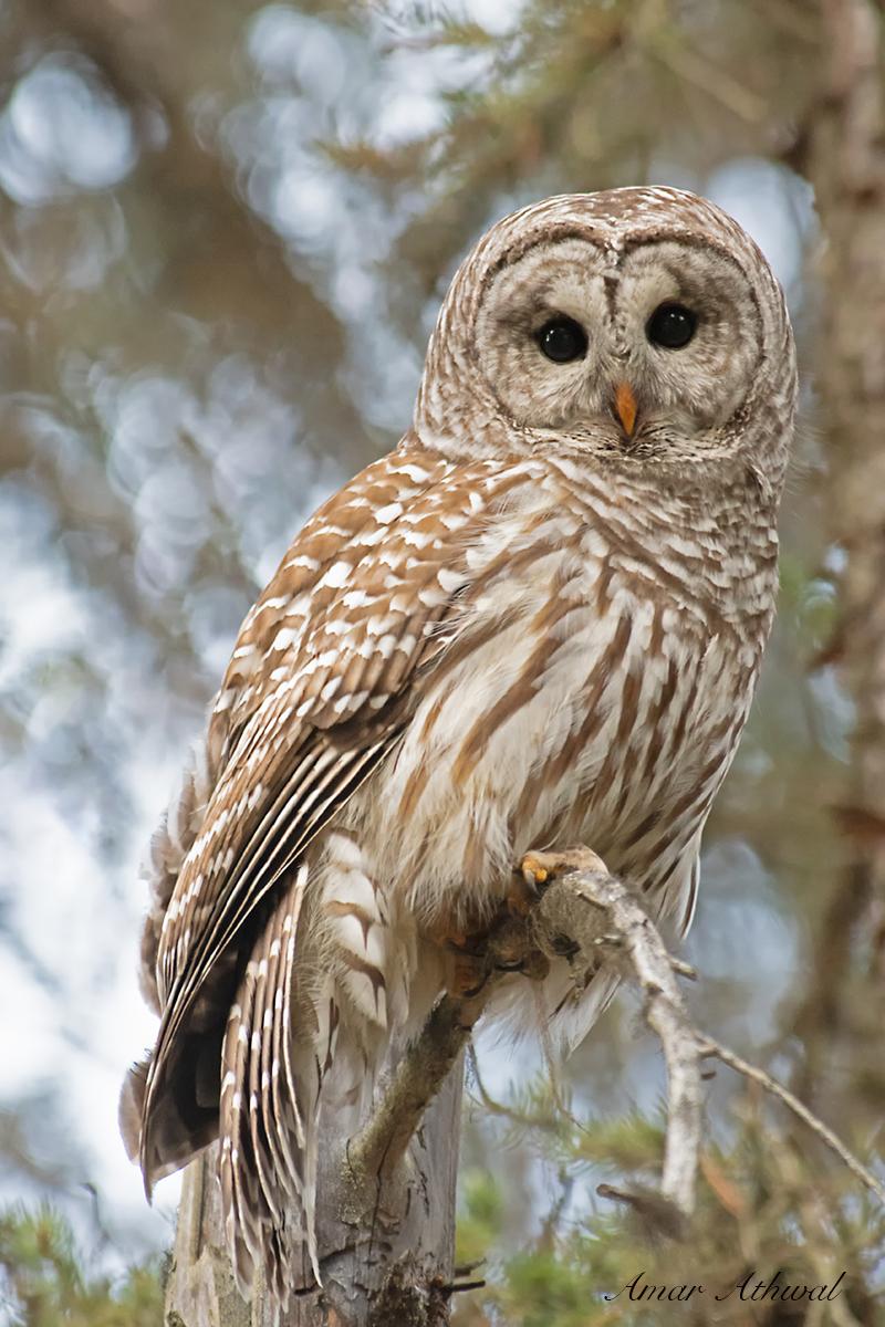 Barred Owl 190802 Amar Athwal.jpg