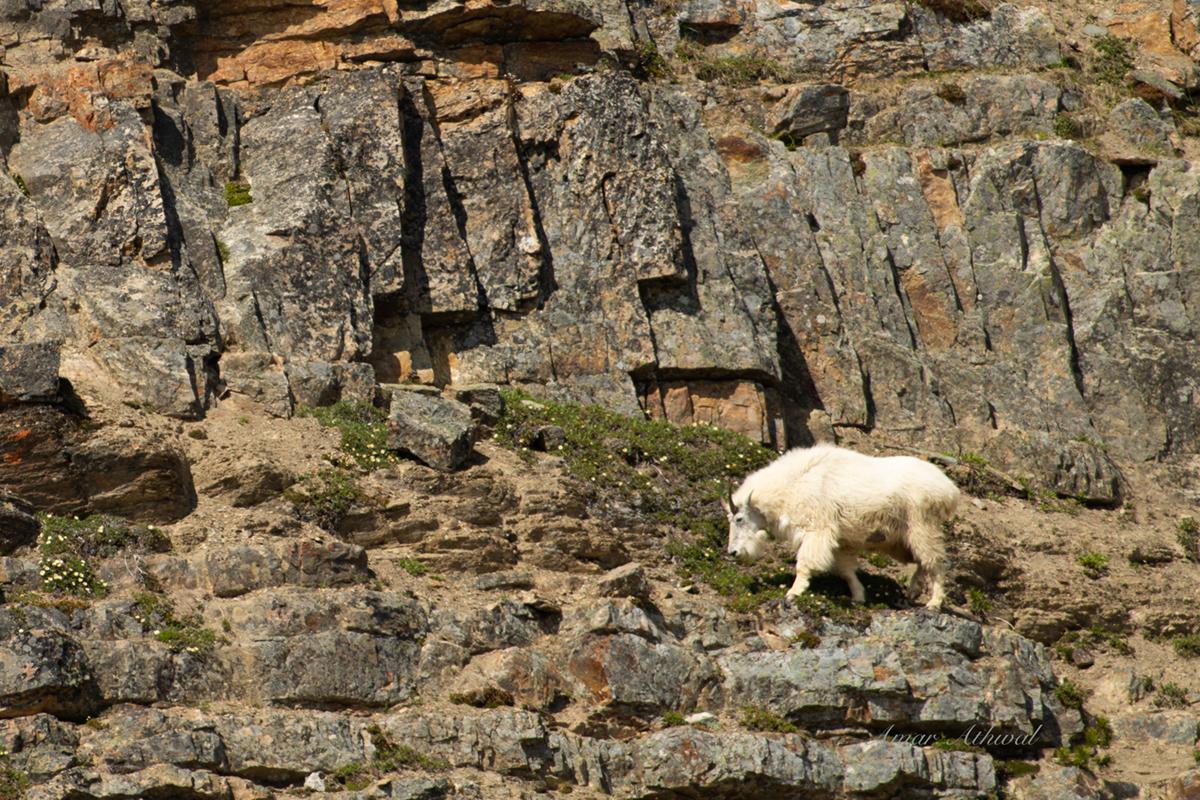 Mountain Goat 190807 Amar Athwal.jpg