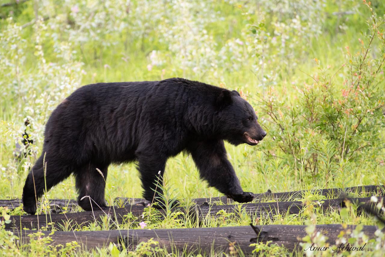 Black Bear 190809 Amar Athwal.jpg