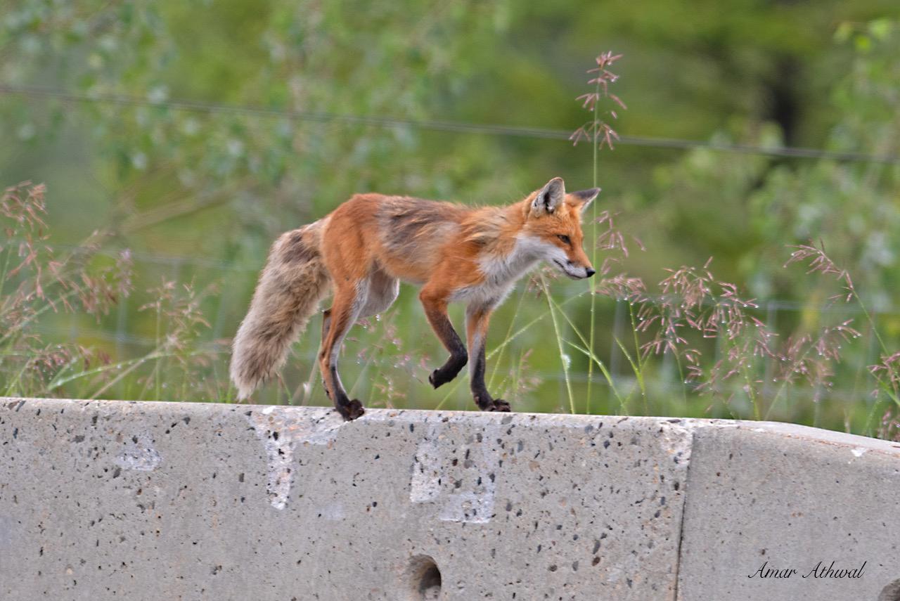 Red Fox 190820 Amar Athwal.jpg