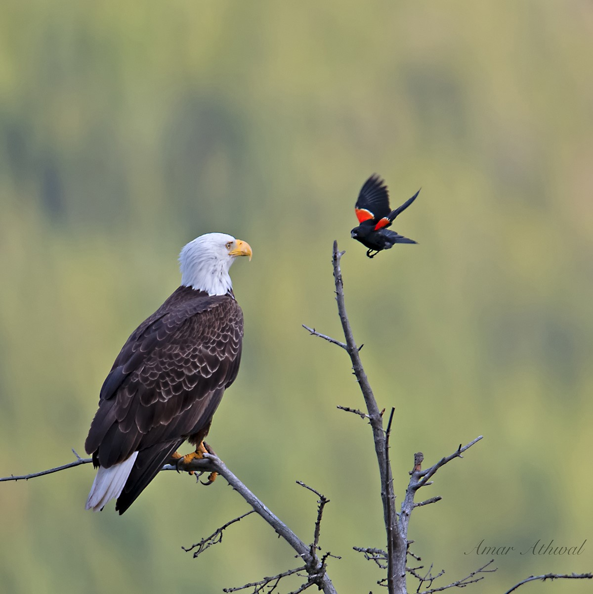 Bald Eagle and Red-winged Blackbird 190823 Amar Athwal.jpg