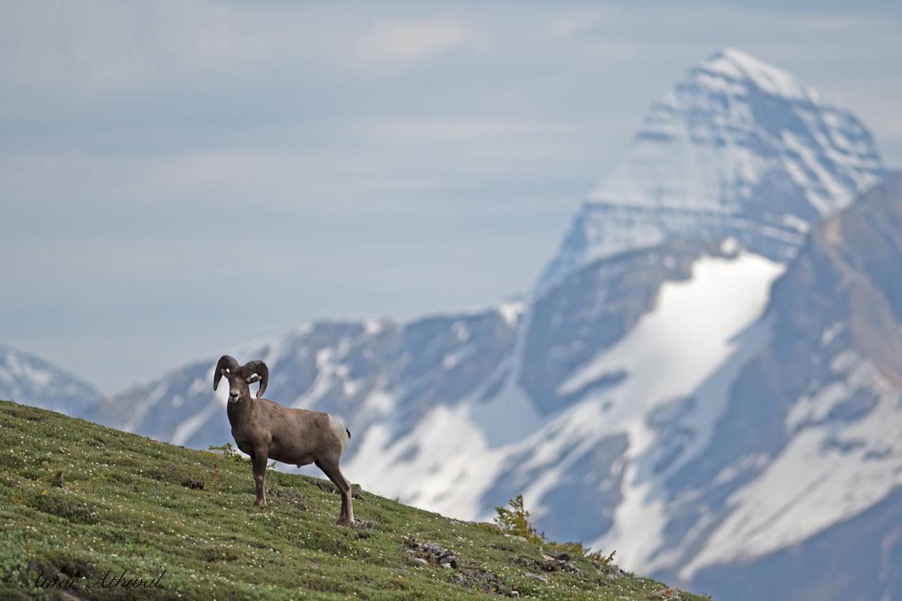 Bighorn Sheep 190830 Amar Athwal.jpg