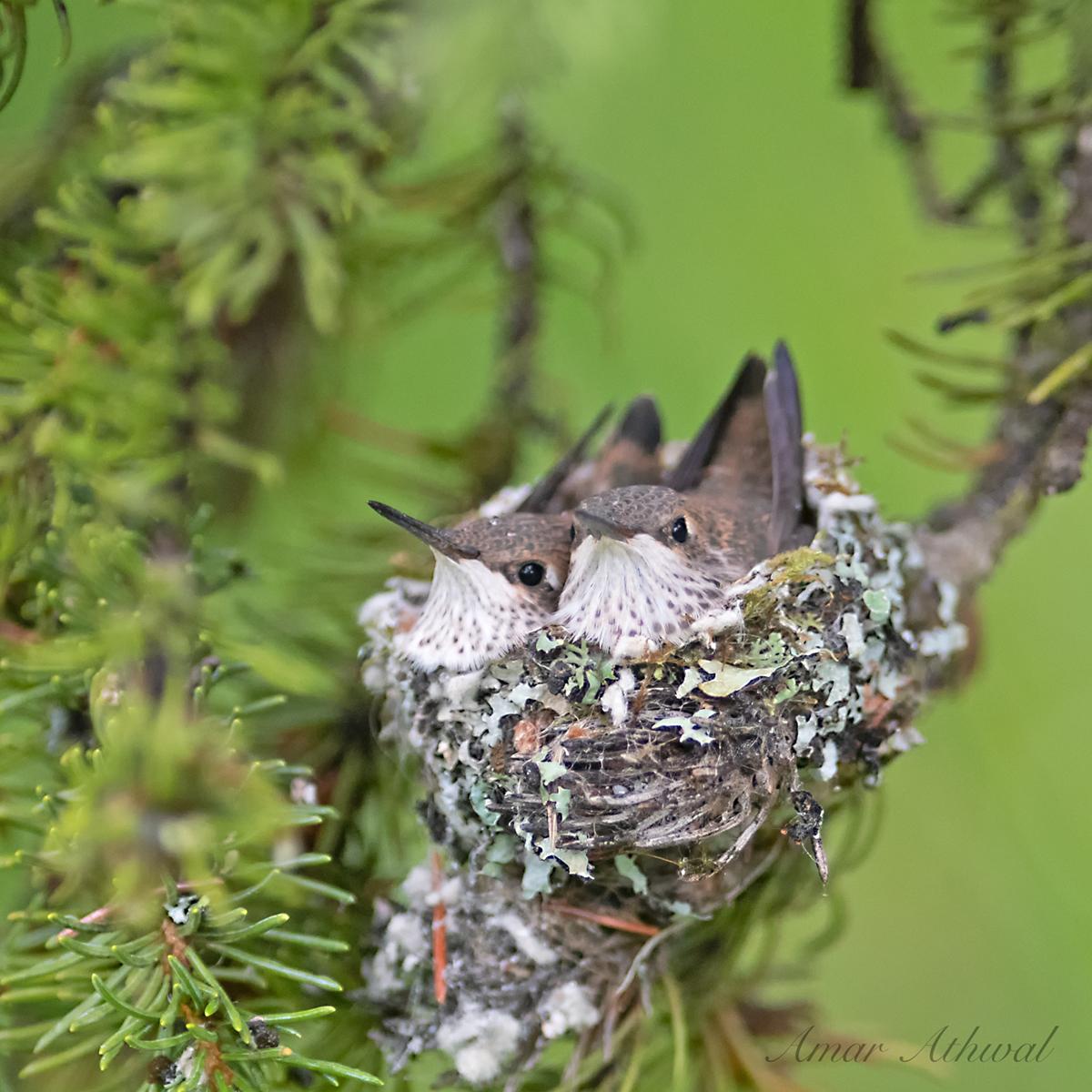 Rufous Hummingbird 190809 Amar Athwal.jpg