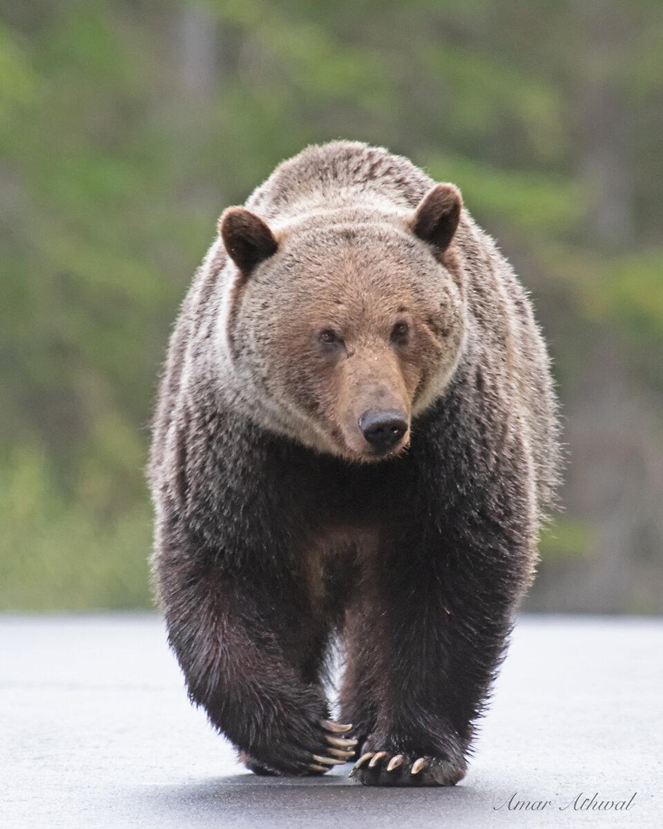 Grizzly 191004 Amar Athwal.jpg