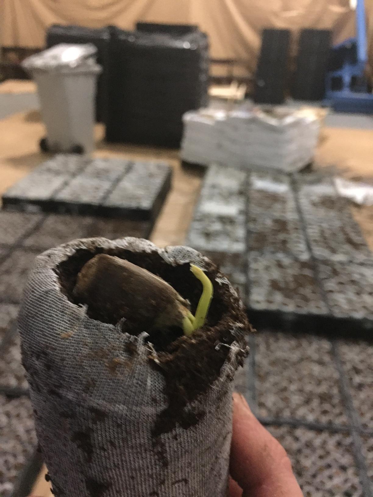 Whitetail Chestnut