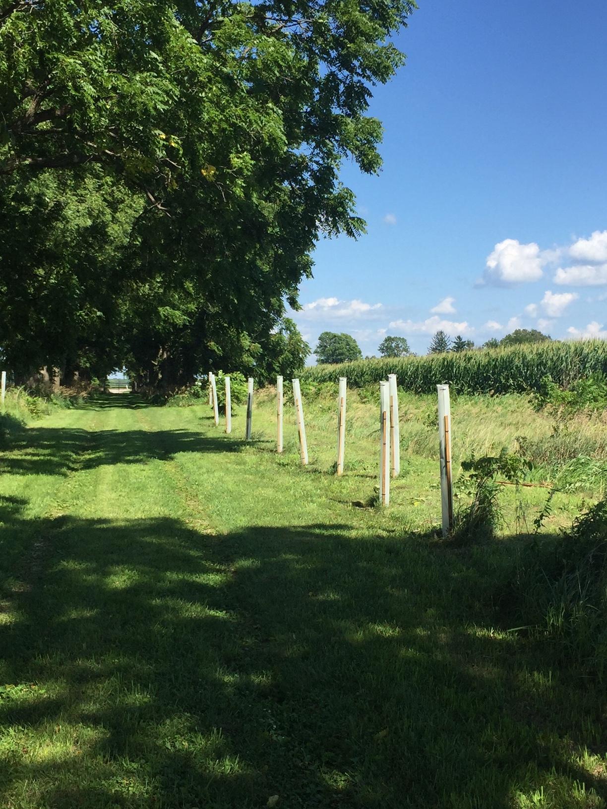 Black Walnut Trees In Tree Pro Grow Tubes