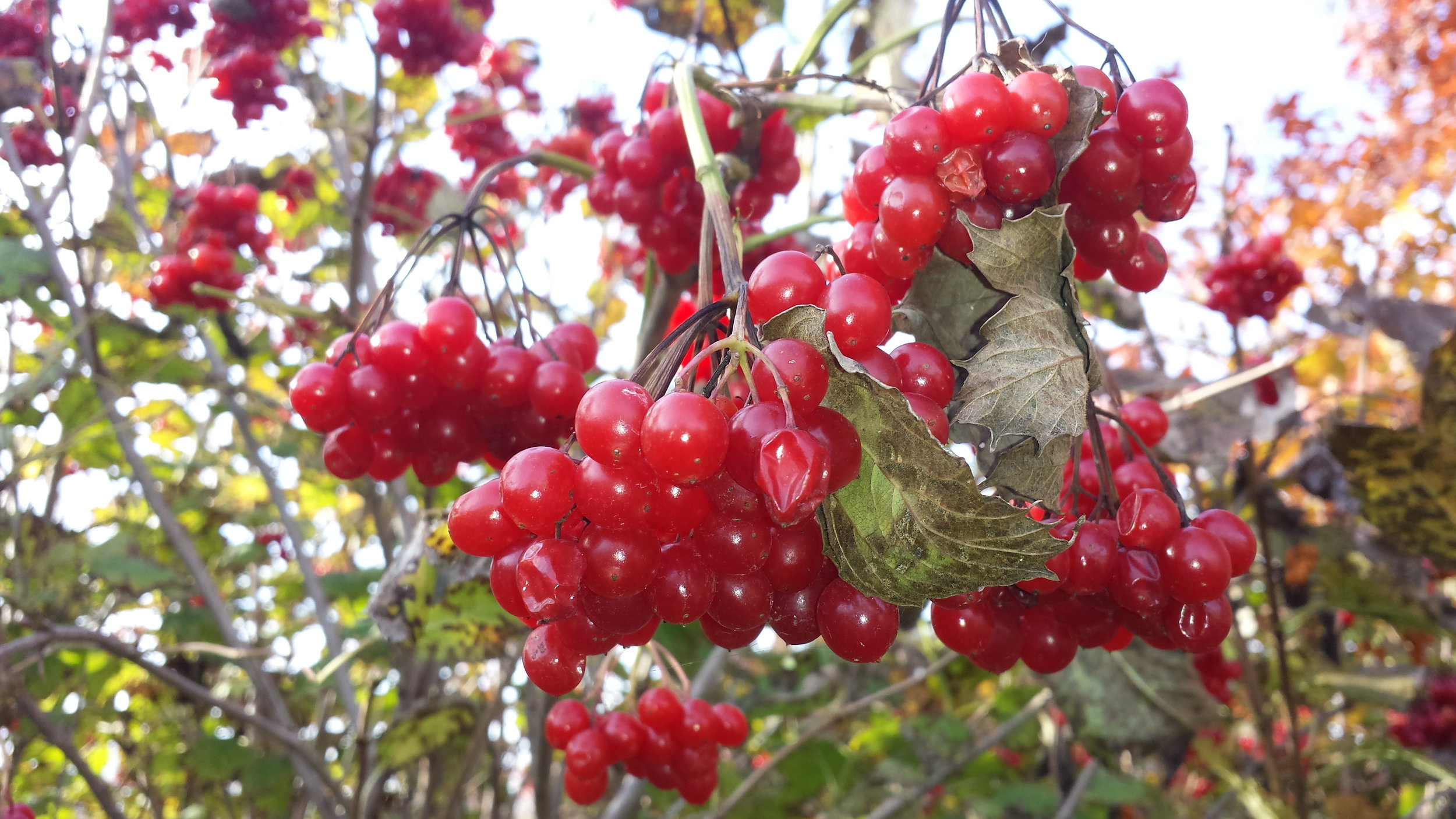 High bush cranberry is a heavy producer.
