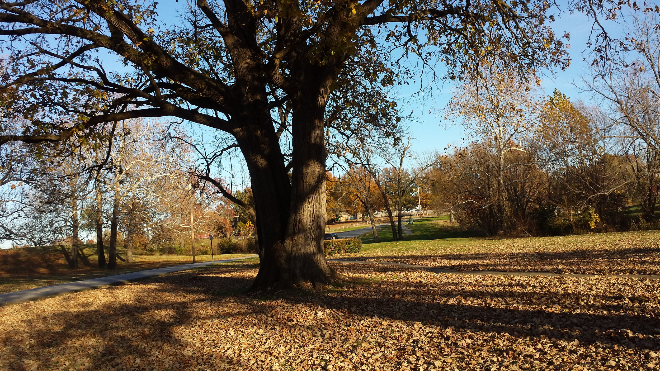 A mature Trophy Oak tree in Kansas. The Trophy Oak is in the burr oak family.