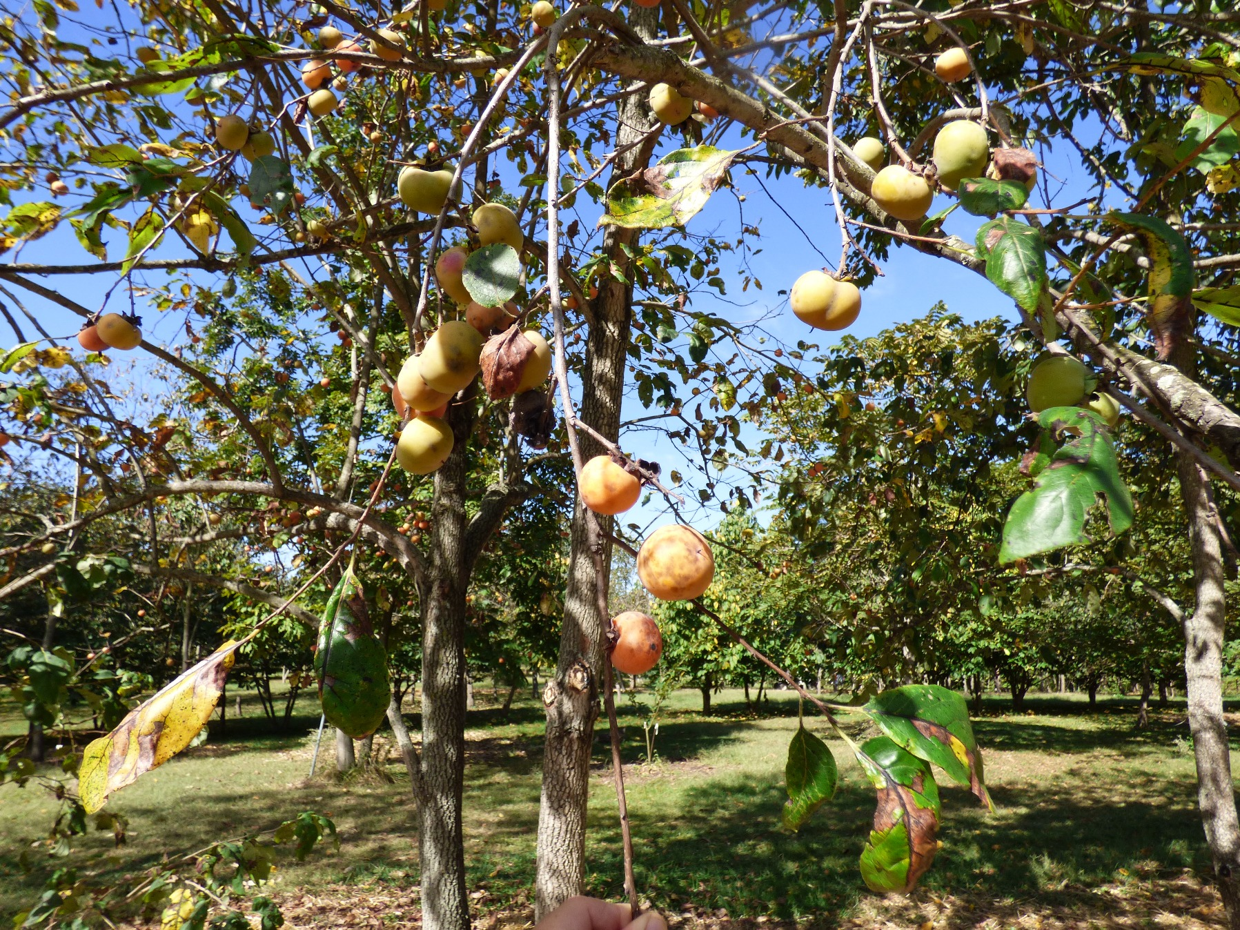 Deer Candy Persimmon Tree is a vigorous grower, The ripen fruit is still on the tree in November.