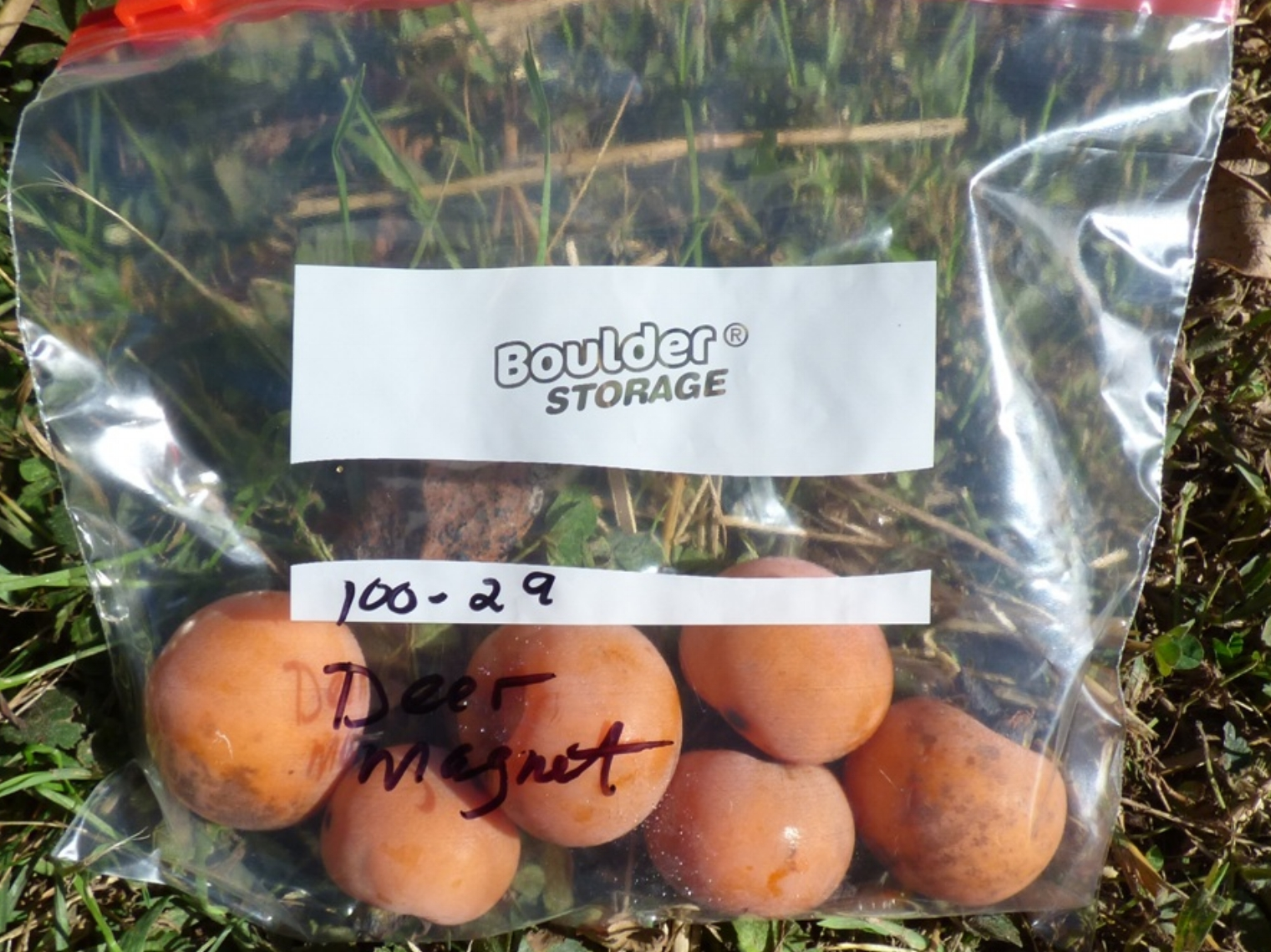 """Deer Magnet Persimmon fruit shown with about a 2"""" diameter."""