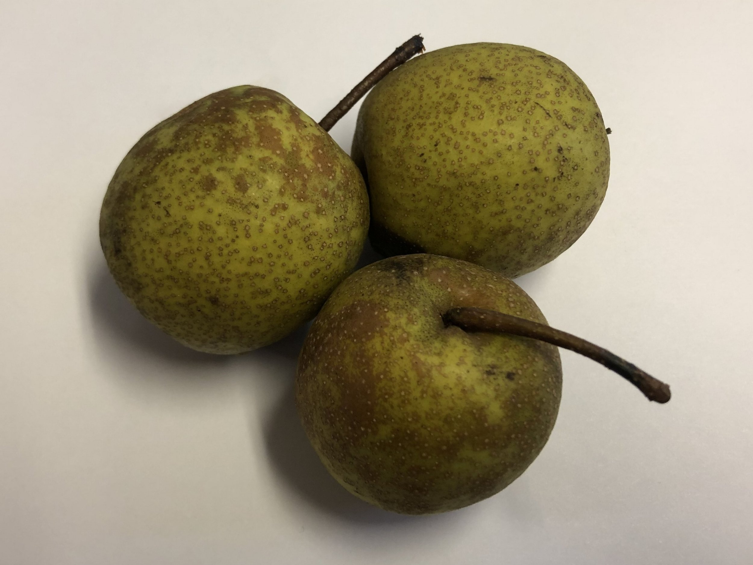 Granddad Pears showing the size. It's a great Wildlife Food.