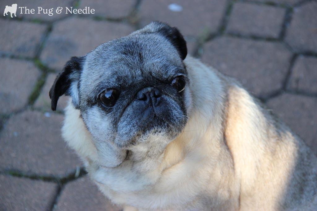 Gratuitous Pug Shot - Quincie during the Golden Hour :)