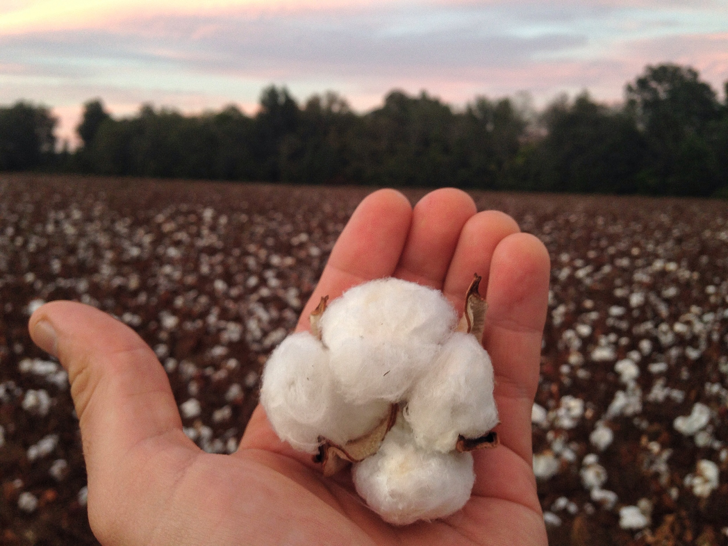 cotton picking.jpg