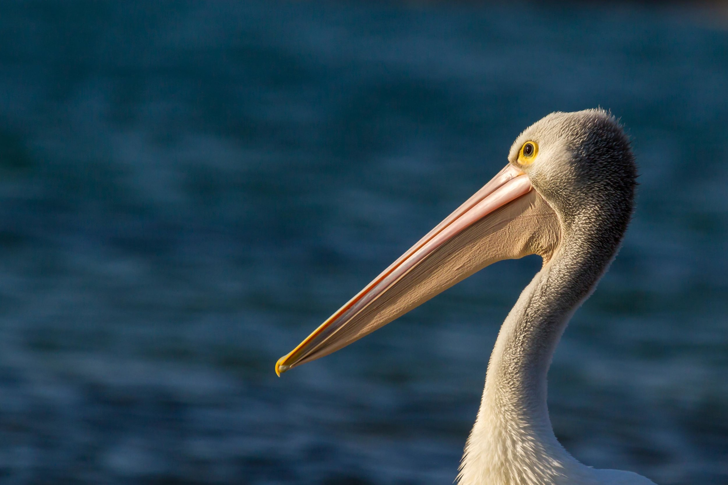 pelicanprofileb (1 of 1).jpg