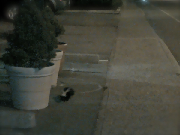 Stalked by a skunk on a run