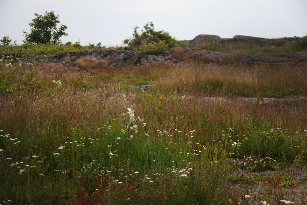 Wildflowers on Öja island