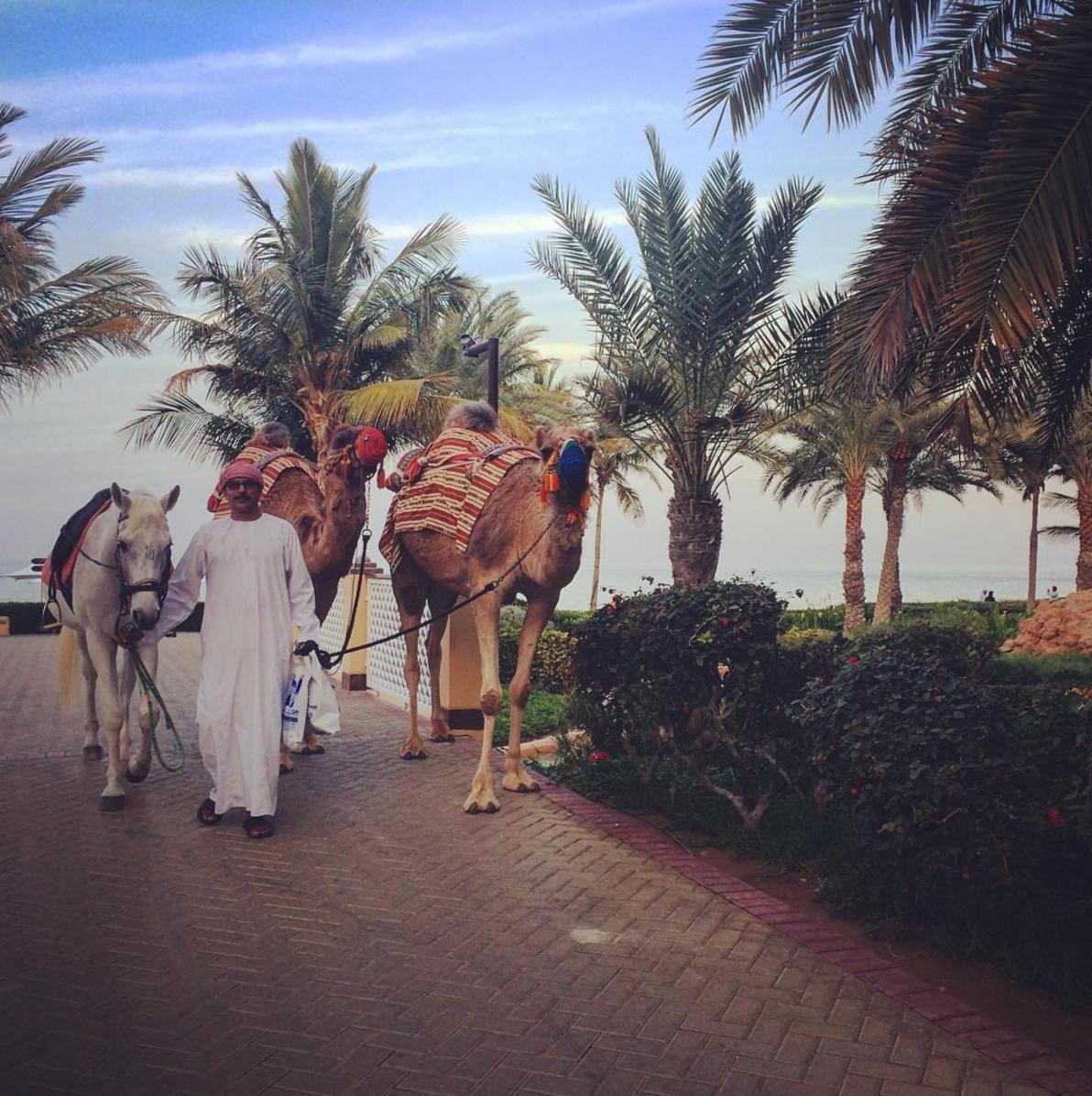 The camel wrangler retires for the day