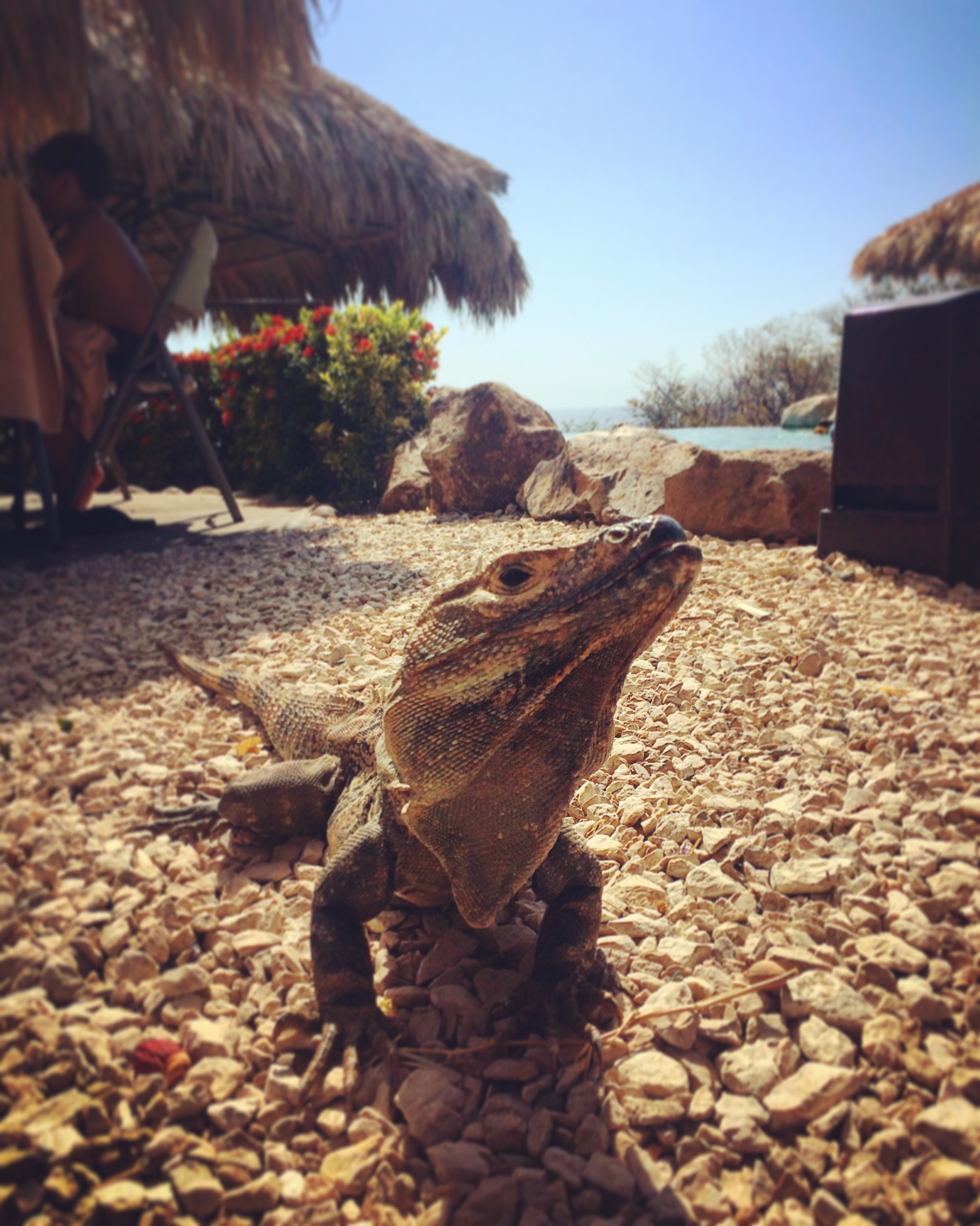 A patient iguana thinks I'm going to feed him eventually
