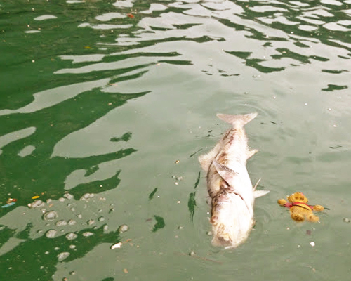 Alicia Morga Vietnam dead fish