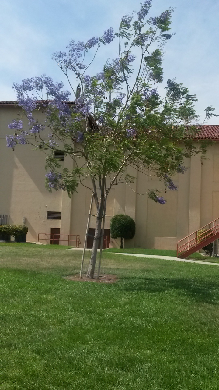 One of the beautiful Jacaranda Trees at the Sturges Center.