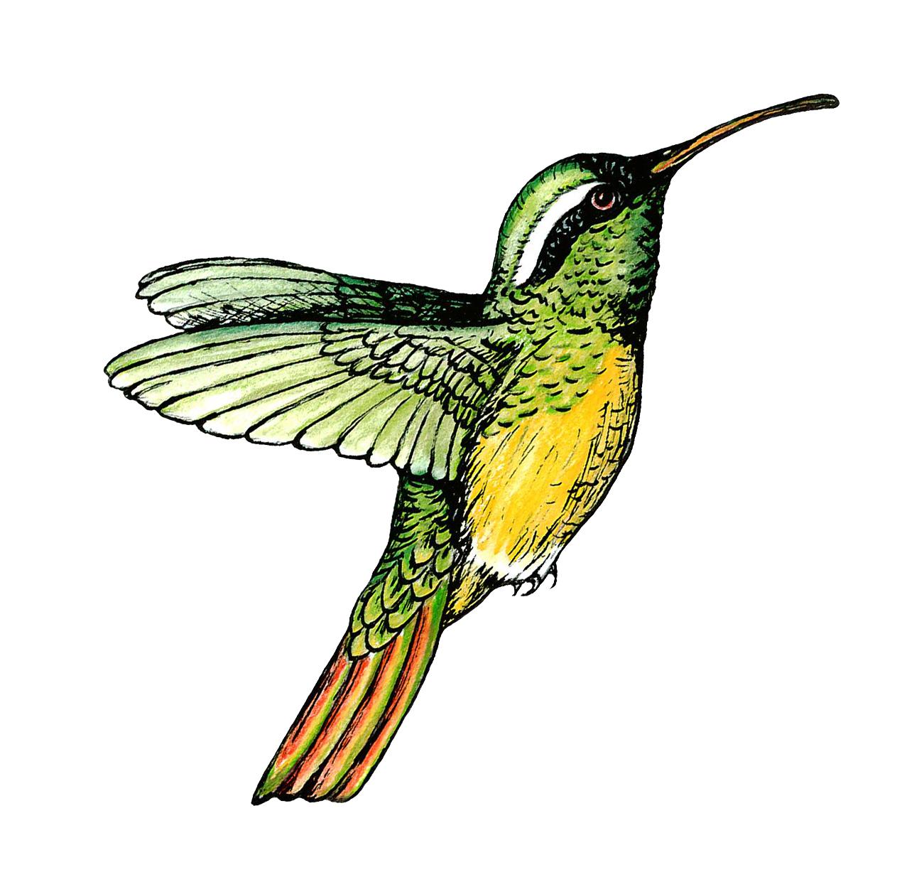 xantus' hummingbird.jpg