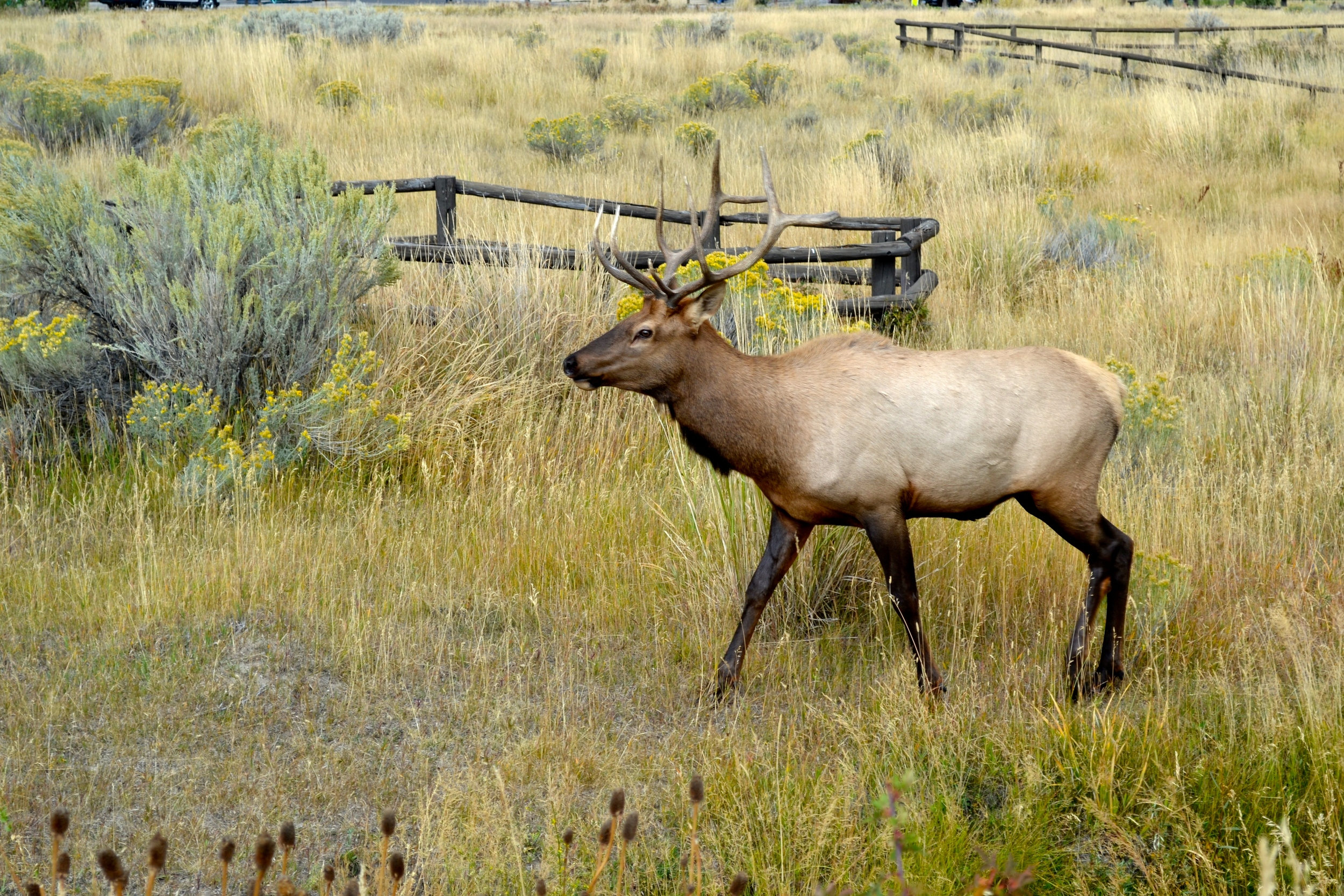 An elk just chilling..