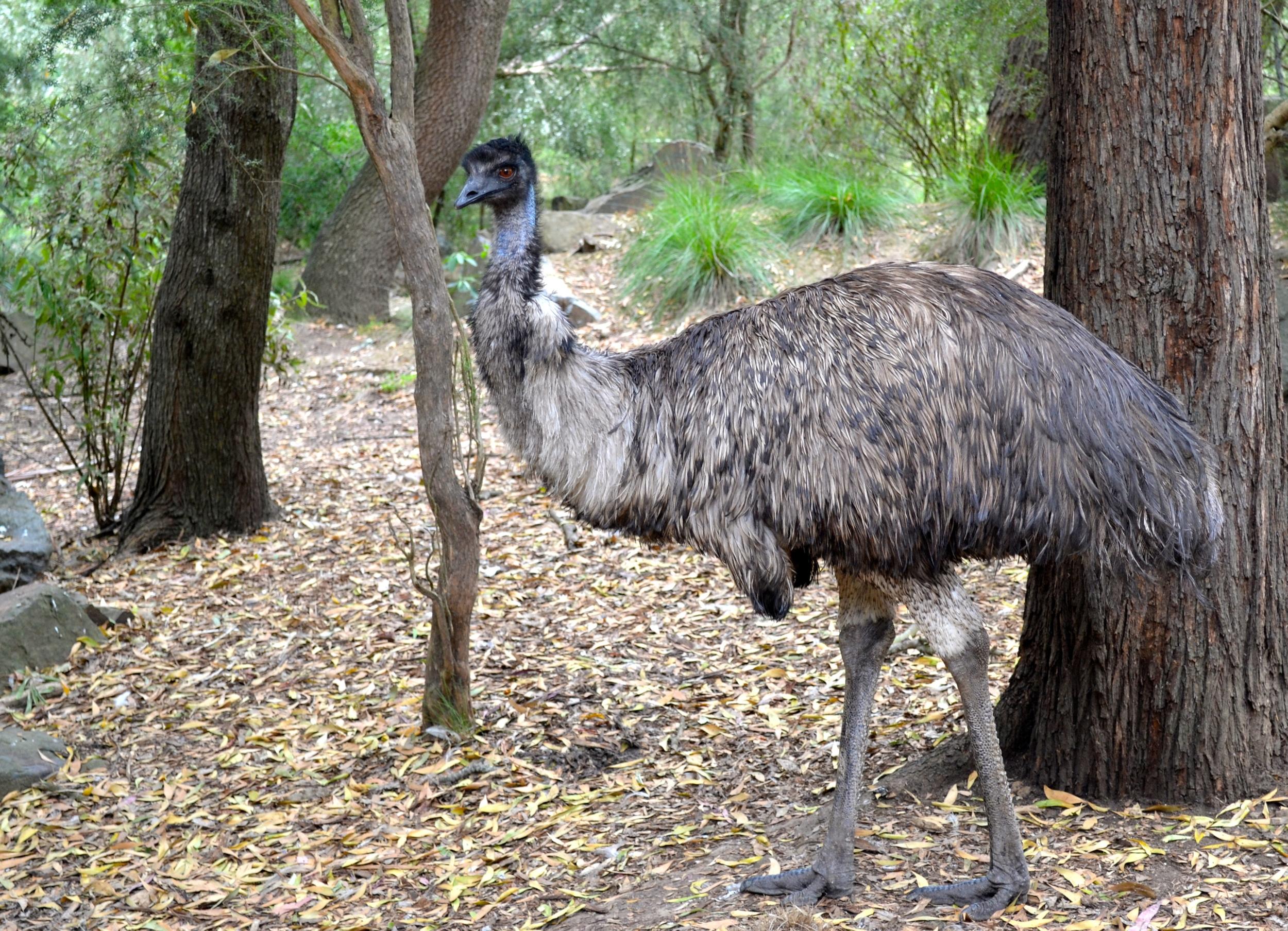 emu-healsville-sanctuary
