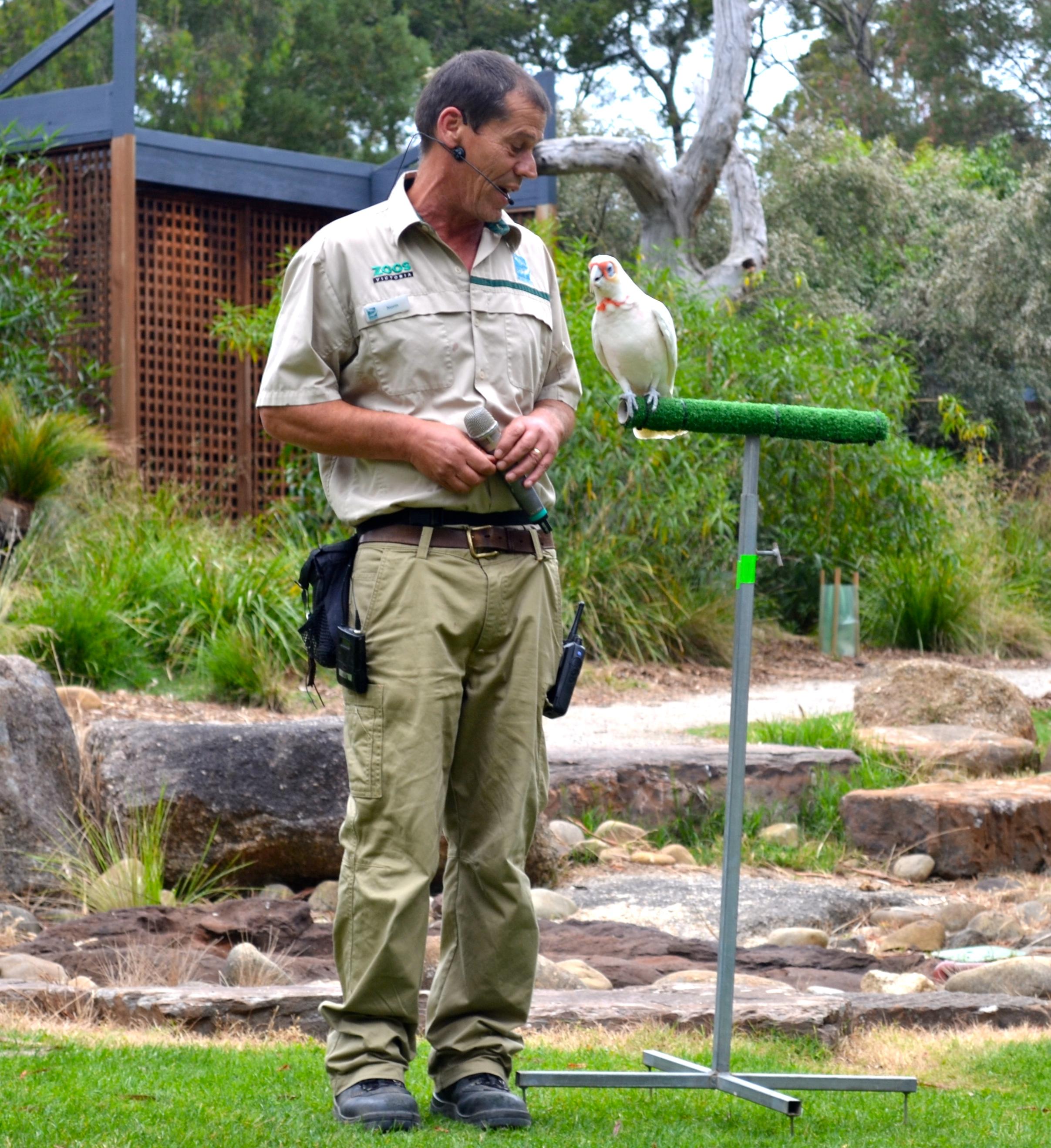 cockatoo-healsville-sactuary-birds-of-prey
