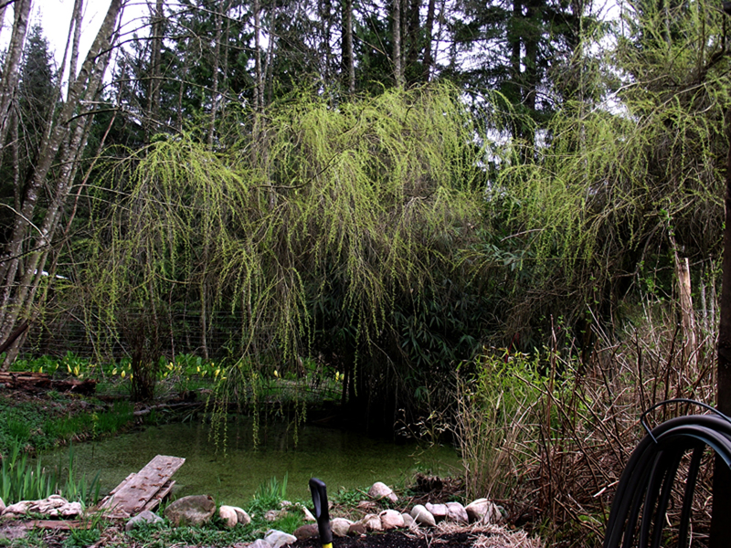 WillowTree&Pond-sm.jpg