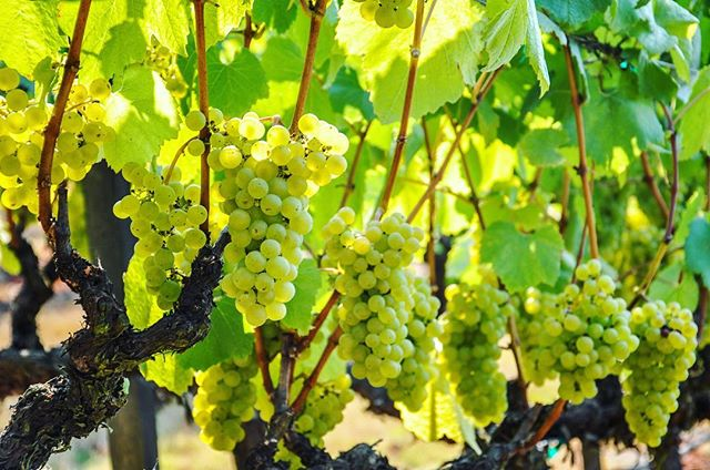 Time For Harvest. Lynmar Estate, Russian River, CA #lynmarestate  #russianriver #sonomacounty #chardonnay #harvest