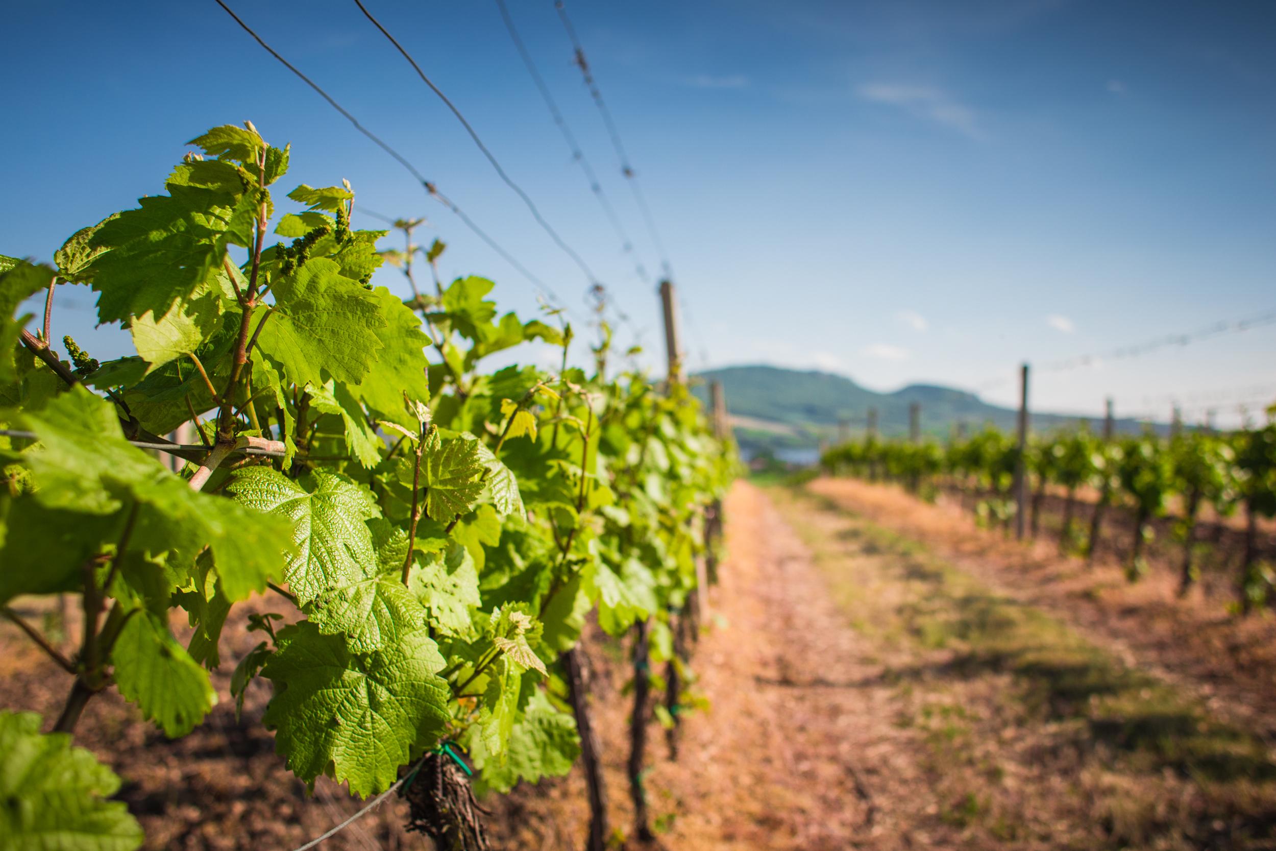 Wine Lines.jpg