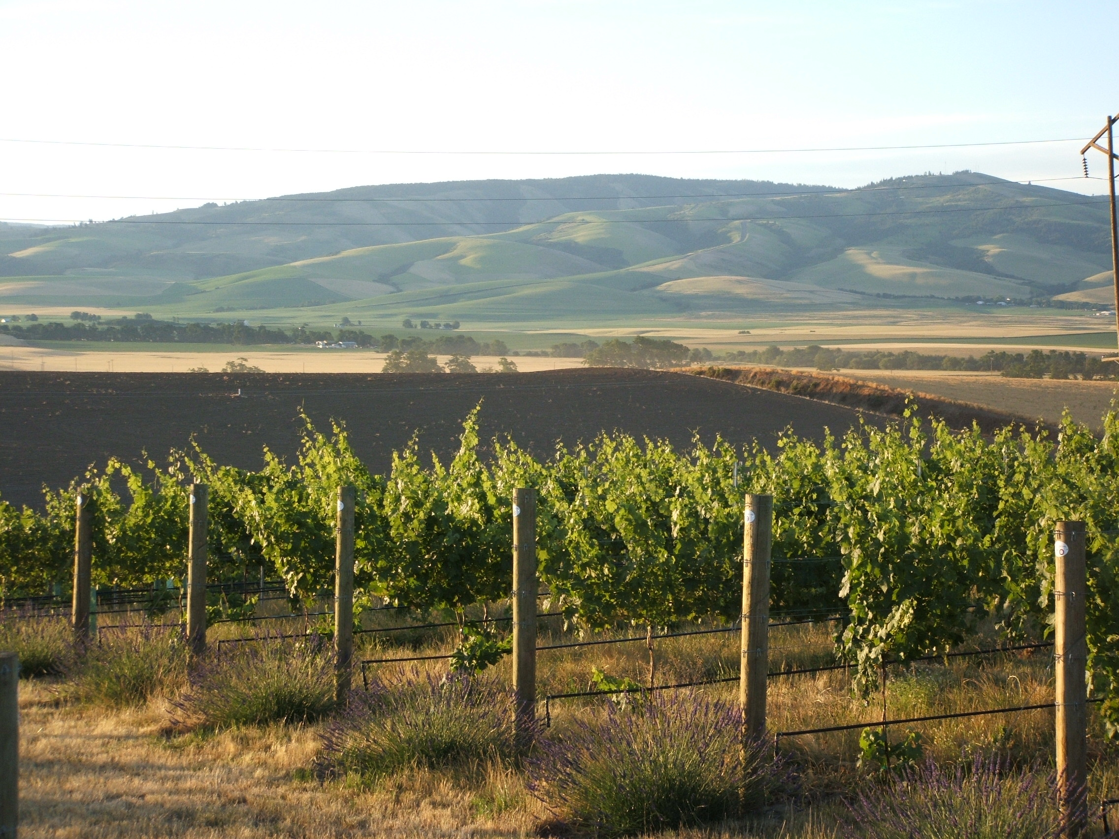 Vineyard - Loess 2.jpg