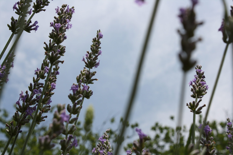 close-up-lavender-growing-summer-hauser-creek-farm-IMG_5678.jpg