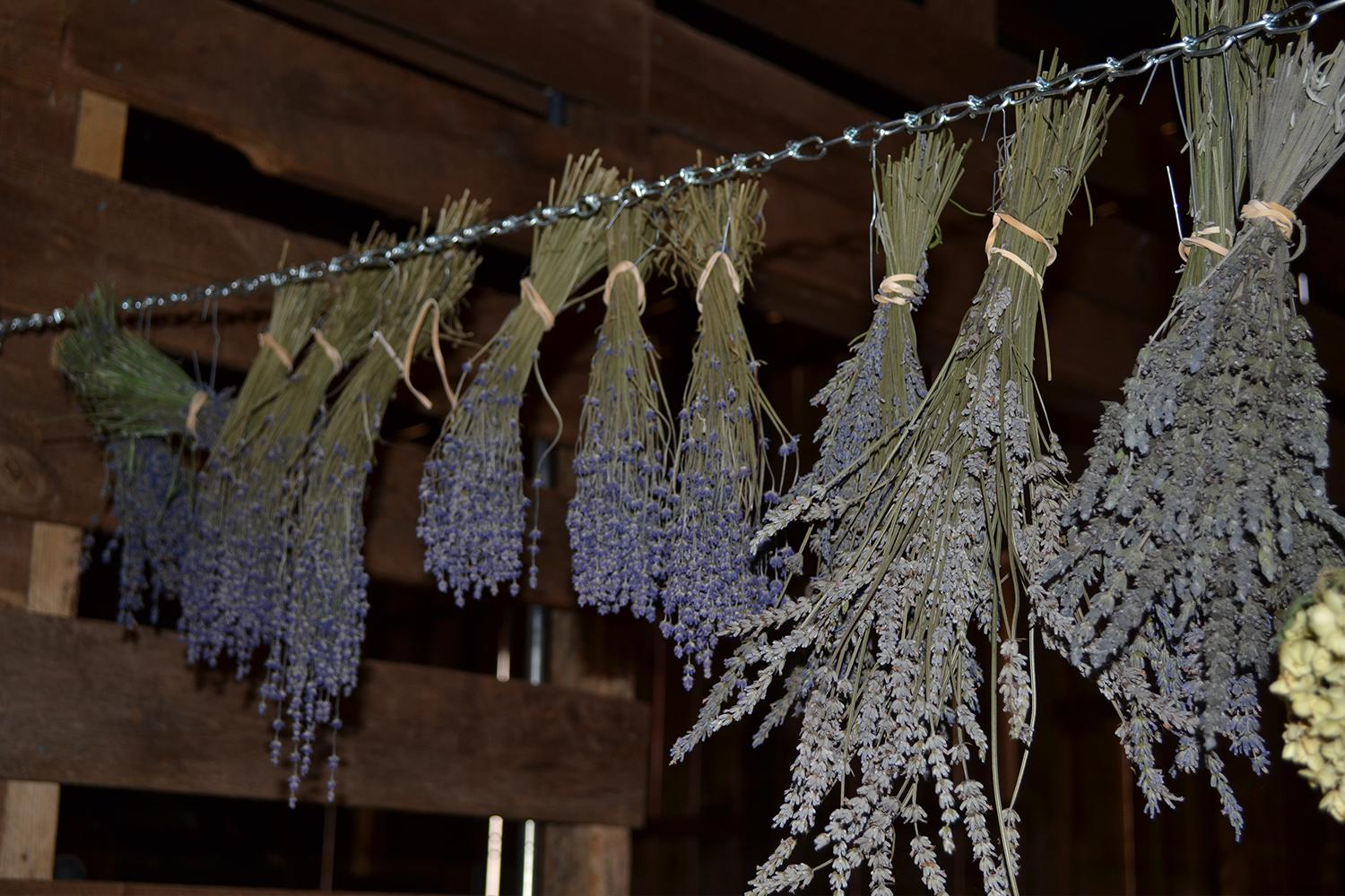 drying-lavender-at-hauser-creek-farm-mocksville-nc-DSC_0557.jpg