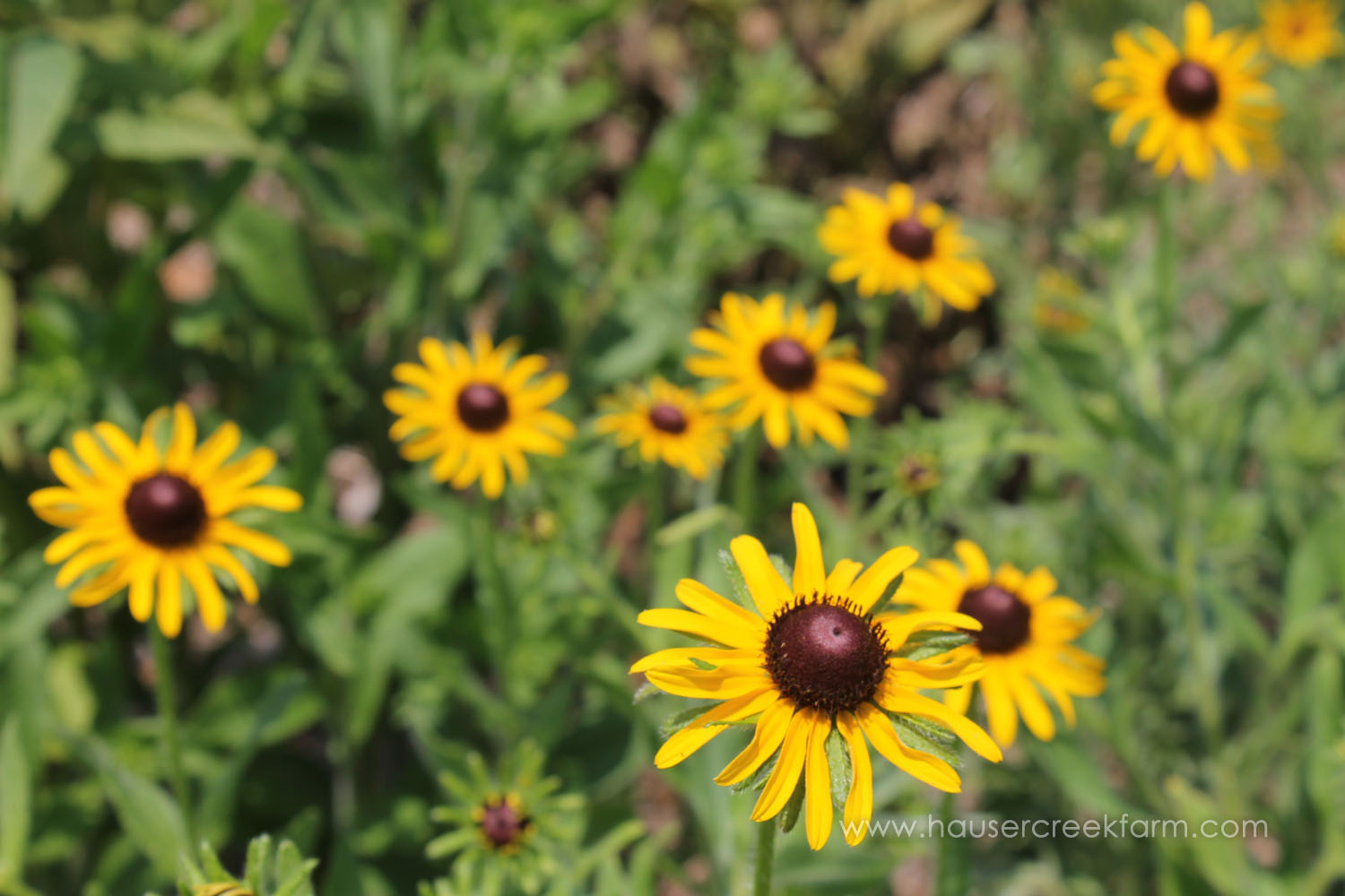 Rudbeckia is Also Called Black-Eyed Susan